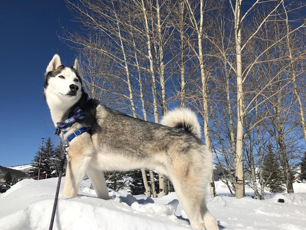 #huskydogtraining #dogsofbarkbusters #bestdogtrainingboulder